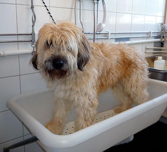 Wet shave av tovig hund - före