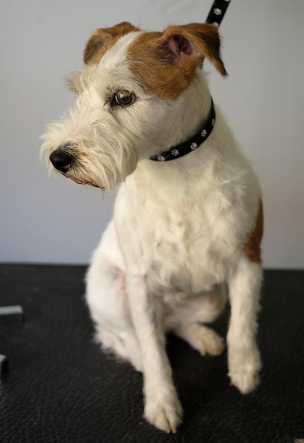 Parson Russel Terriern Maya efter en dag på hundtrimmet