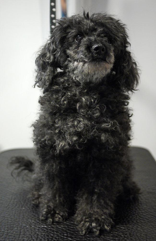 Dvärgpudeln Sonya i början av besöket hos hundfrisören.