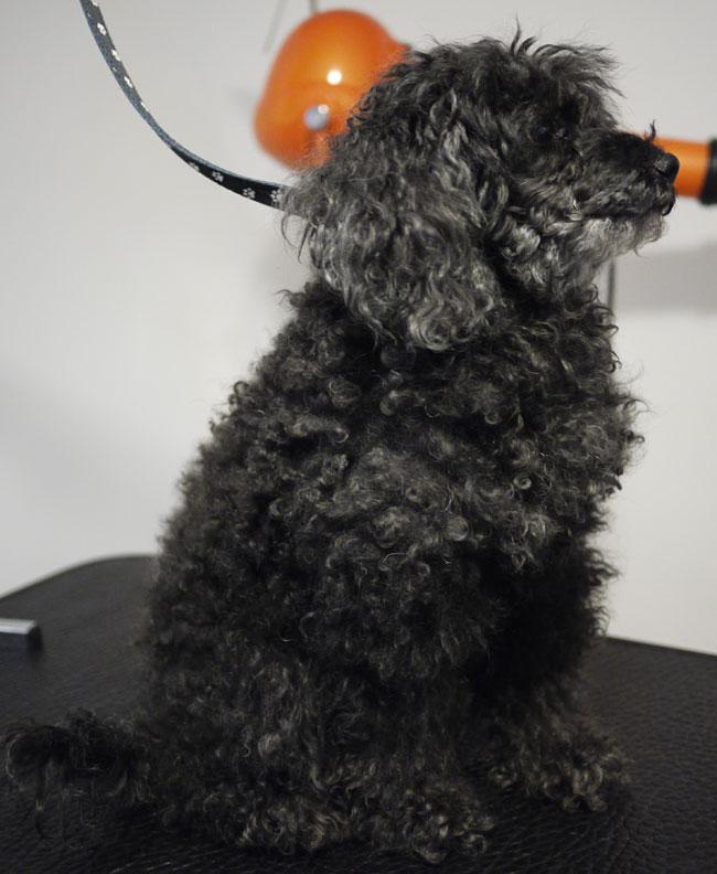 Dvärgpudeln Sonya sedd från sidan i början av besöket hos hundfrisören.